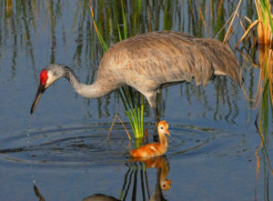 A photo of a sandhill crane and her baby colt.