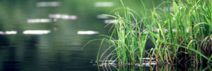 A closeup photo of grass growing on the water's edge of a pond