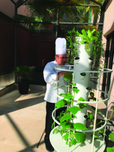 The chef tending to garden herbs growing in an vertical eco growing tower