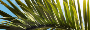 A close up photo of a palm frond in the sun