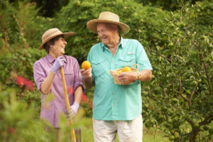 A senior man and senior woman collecting oranges from a fruit orchard