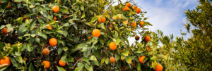 Oranges ripe for the picking, growing on lush green trees in a fruit orchard
