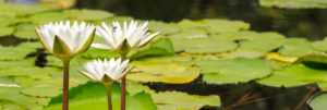 Lily pads and blooming water lilies